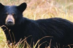 Black-Bear-620x245-1